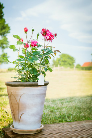 red soil: Rose bush in flower pot on wooden terrace over sky and nature background
