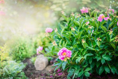 Pink peony bush on sunny garden or park background Stock Photo - 41673981
