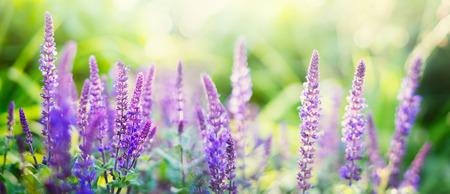 웹 사이트에 대한 햇볕이 잘 드는 정원이나 공원 배경 배너에 세이지 꽃 스톡 콘텐츠