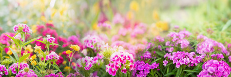 dianthus flowers on blurred summer garden or park background banner for website