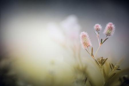 trifolium: Wild flowers on dusk fog nature background. Trifolium arvense.
