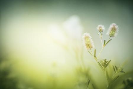 Wild flowers on morning foggy nature background. Trifolium arvense. Stock Photo