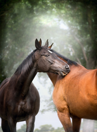 warmblood: Two  beautiful warm-blood dressage horses scratching each over big tree nature background