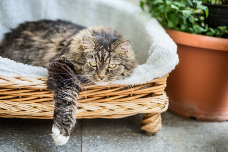 Big  fluffy cat lying in wicker chaise  sofa  couch on balcony or garden terrace with flowers pot