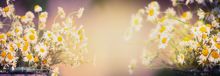 flower garden: Daisies flowers on blurred nature background, banner for website, toned