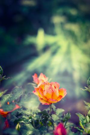 garten: Orange rose in sun rays on green garten background