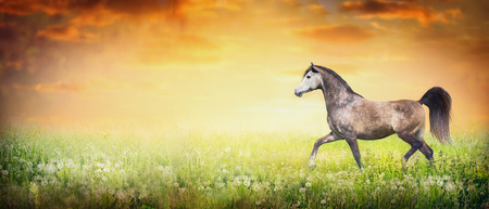 chestnut male: Beautiful arabian horse running trot on summer or autumn nature background with sunset sky, banner for website