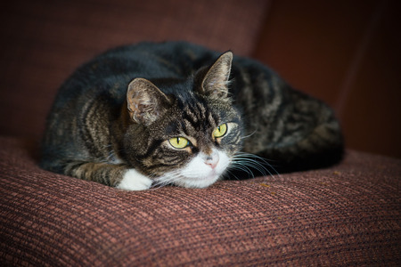 grey tabby: Domestic cat lying on brown cushion