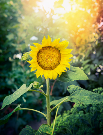 sky sun: beautiful sunflower on garden nature background Stock Photo