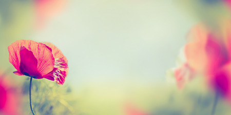 poppy seeds: poppy flowers on blurred nature background, banner for website