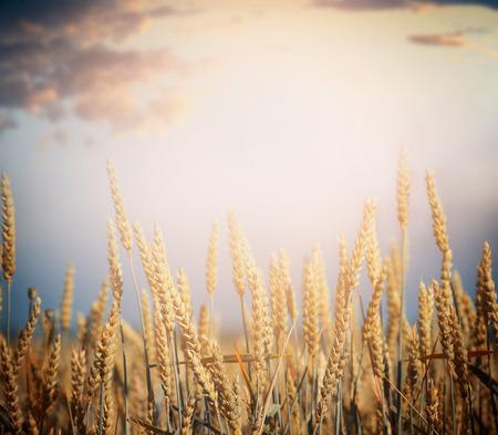 harvest: ripe wheat field on harvest season over sky background