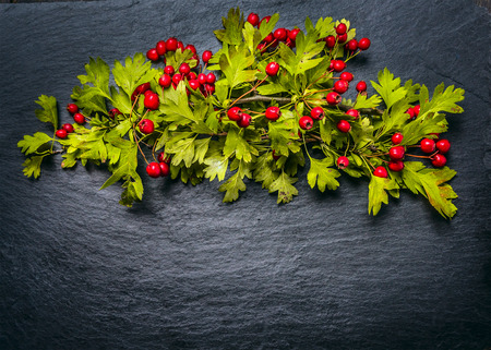 autumn hawthorn with red haw berries on dark slate background, top view Stock Photo