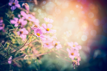 flowers garden: Pink garden or park flowers on sunny nature background Stock Photo
