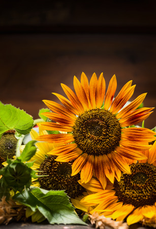 macros: Sunflowers on dark background, place for text