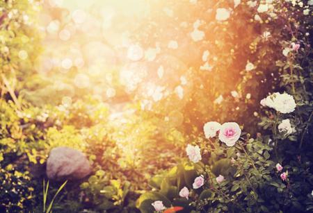 バラの花を持つ秋の庭や公園、自然の背景がぼやけ