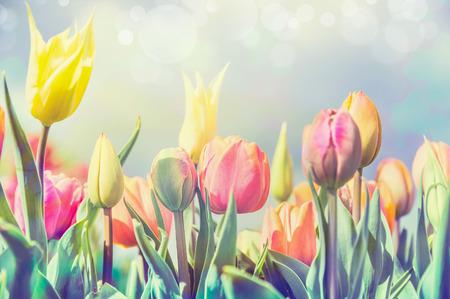 公園や庭、パステルの淡いトーンで美しいチューリップの花のベッド