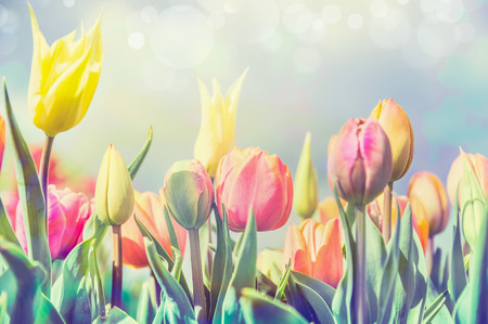 pastel colour: Beautiful tulips flowers bed in park or garden, pastel pale toned