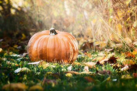 garden lawn: Big pumpkin on autumn lawn and grass over garden background