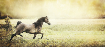 trot: strong healthy young horse runs trot on the field, retro toned, banner