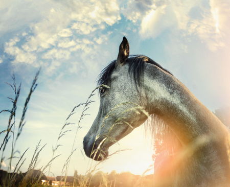 light brown horse: Close up of arabian horse portrait over sunset nature background