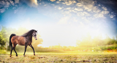trot: Stallion horse running trot over  nature background with beautiful sky, banner