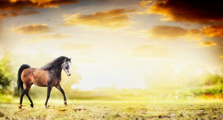 trot: Stallion horse running trot over autumn nature background, banner Stock Photo
