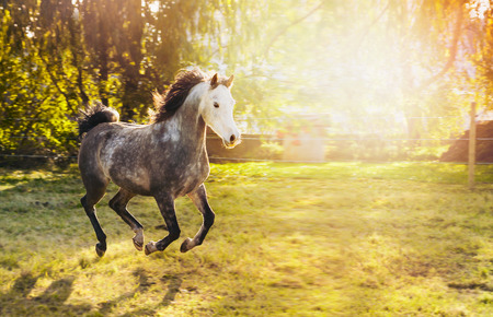 verbs: Young gray stallion with white head and Black mane running on sunny pasture with trees and sunshine