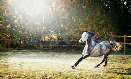 free running: Handsome young stallion horse runs gallop on pasture beautiful background