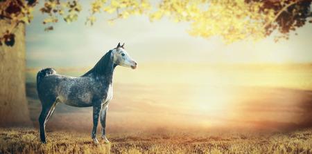 Grijs Arabisch paard over prachtige natuur achtergrond met een grote boom, bladeren en zonsondergang Stockfoto