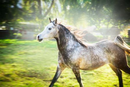 gelding: Gray stallion running gallop on summer or spring nature background