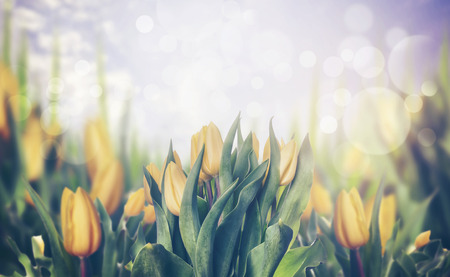 the nature of sunlight: Spring tulips blooming plant, toned, banner
