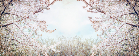white blossom: Blooming fruit trees over sky and spring nature background in garden or park, banner Stock Photo