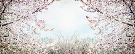 cerezos en flor: Árboles frutales florecientes sobre el cielo y la primavera la naturaleza de fondo en el jardín o parque, bandera