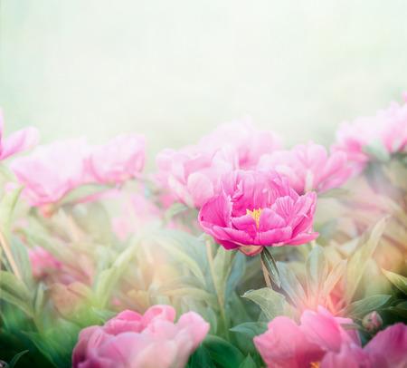 flower garden: Pink peonies plant in garden or park. Soft focus Stock Photo