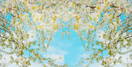 sky brunch: Blossoming of tree branches with white flowers on sky background, selective focus. Spring nature in garden or park, outdoor. Banner