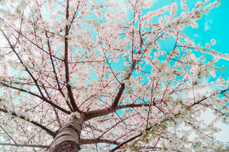 Blossom tree over sky background. Spring nature, selective focus