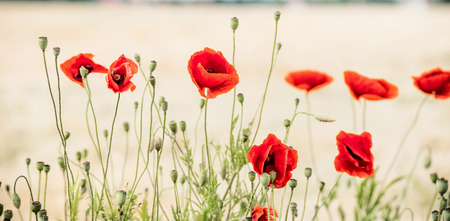 Red poppies banner , floral nature background. Selective focus