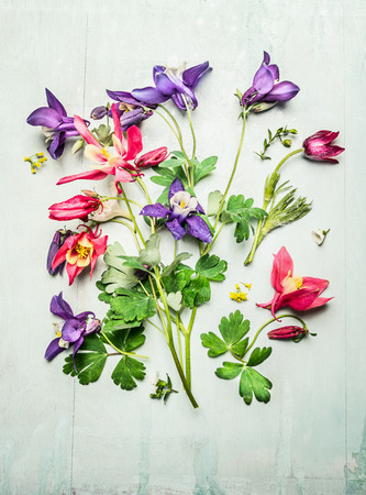 plan view: Spring colorful garden flowers, columbines or akelei. Composing on light wooden background, top view. Gardening concept