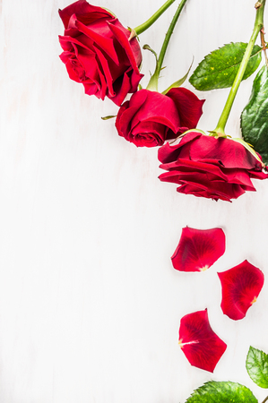 rosas rojas: Rosas rojas con pétalos sobre fondo blanco de madera, vista desde arriba. Tarjetas de San Valentín. El lugar de texto