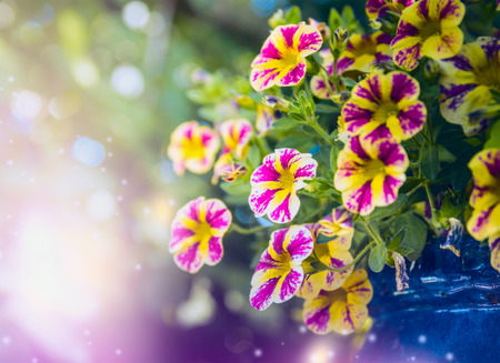 flowers garden: Beautiful  yellow pink petunia flowers in garden over blurred nature background