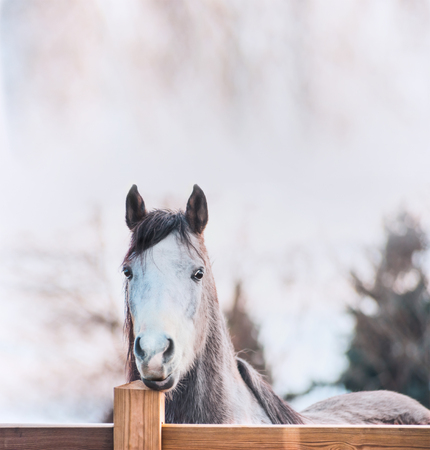 Horse face on wooden fence, outdoor Stock Photo