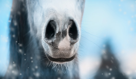 nose close up: Close up of horse nose on winter  blurred nature background, banner. Stock Photo