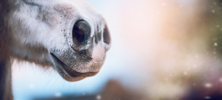 Close up of horse nose on blurred nature background, banner. Side view