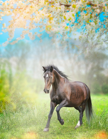 pasturage: Black horse running on green grass over  spring nature background with  blossom trees.