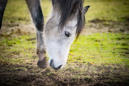 sniffing: Horse sniffing the ground, close up. Stock Photo
