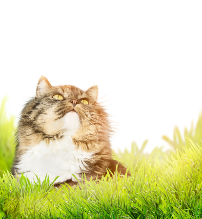 fluffy cat: Fluffy cat in grass on white background Stock Photo