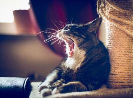 the yawn: Yawn cat with big mouth Stock Photo