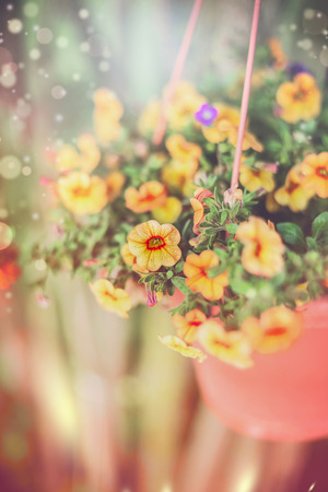 pot light: Hanging garden flowers in pot on lovely outdoor summer nature background with sun light and bokeh. Hanging Petunia flowers. Decorative flowers