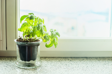Basil plant in a pot on windowsill. Kitchen cooking herbs.