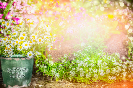 Lovely flowers garden. Summer garden nature background with beautiful flowerbed, bucket with daisies, sun light and bokeh. Gardening concept